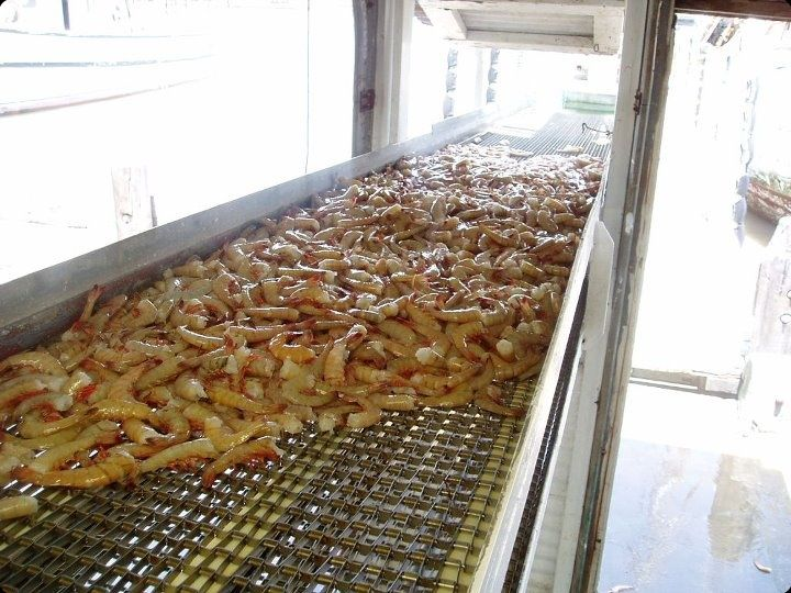 brown shrimp on the conveyor belt