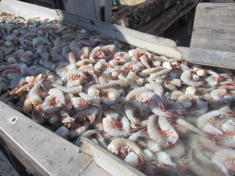 fresh white jumbo shrimp being unloaded